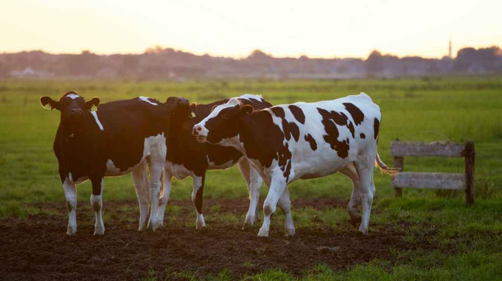 1000 head of cattle for Galactic Federation annual payment
